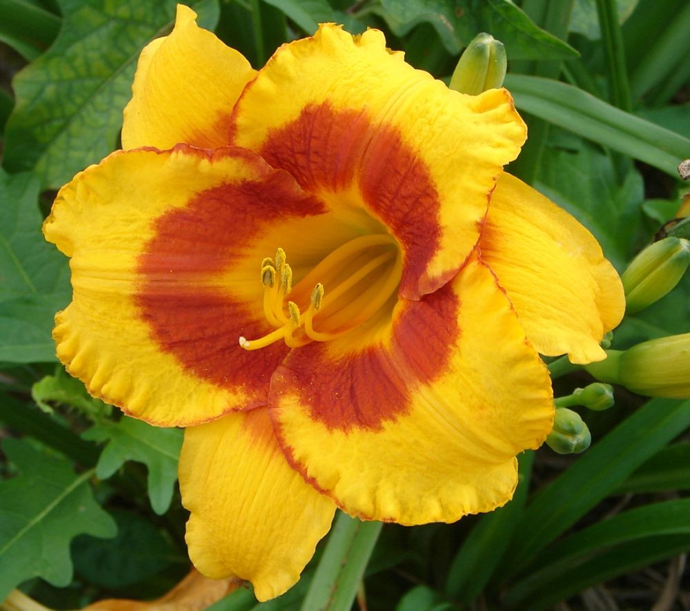 Hemerocallis__Fo_50f2f35f591be.jpg