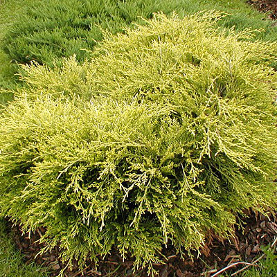 Juniperus_commun_4ae72775cd4d2.jpg