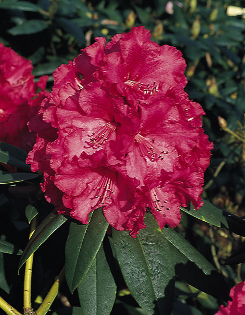 Rhododendron__An_51f8e746a32bf.jpg