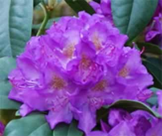 Rhododendron__Pu_508be97583784.jpg