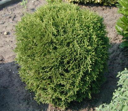 Thuja_occidental_4aafc8b3a59c1.jpg