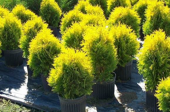 Thuja_occidental_4afed7e0cd7b3.jpg