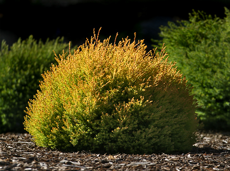 Thuja_occidental_4f3e431e34f0a.jpg