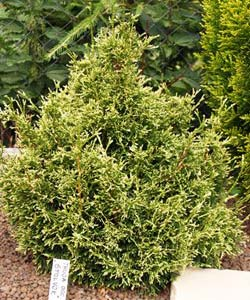 Thuja_occidental_5224ba9fe3391.jpg