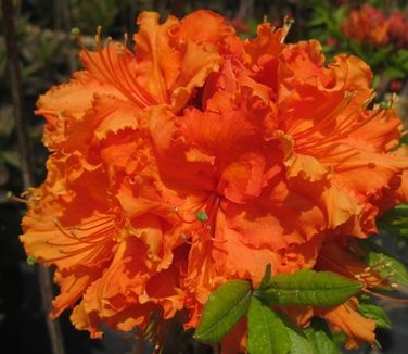 Rhododendron__Kn_4ac45546531ca.jpg