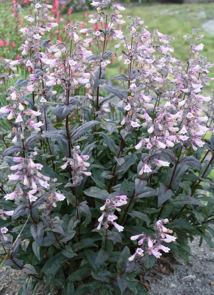 Penstemon__Dark__4e4658e34b0b5.jpg