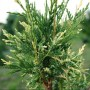 1218_thuja-occidentalis-litomysl