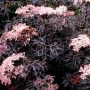sambucus-black-lace.-common-elder-pot-size-3l-fs-11042-p